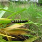 20140714_0004_Brithys crini_Lily Borer_larva_south coast_Kenya