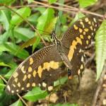 20110501_0071_Papilio demodocus_Diani_Kenia