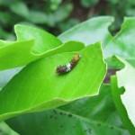 20110815_0053_Papilio demodocus_Raupe_Bamburi_Kenia