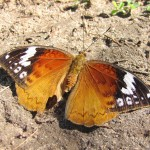 20110715_0044_Bebearia cocalia