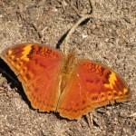 20110724_0018_Bebearia cocalia_Kenia