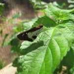 20130823_0011_Andronymus caesar_White Dart_adult butterfly_Kenya