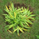 20140714_0002_Brithys crini_Lily Borer_infested plant_Kenya